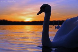 swan romance 14 by MT-Photografien