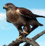 Ferruginous hawk in the Sonora Desert by SuicideBySafetyPin