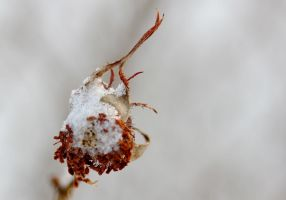 Frozen rose hip by reaktionista