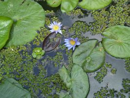 Water Lily by thepapercraftcouple