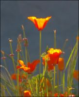 Poppies Grasping Sunlight by Frostola