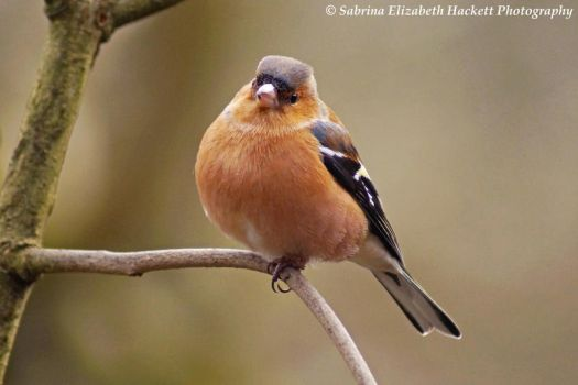 Chaffinch on a Branch II by Hitomii