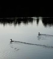 Waterbirds by Caillean-Photography