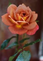 Rusty Rose - One of the most beautiful by theresahelmer