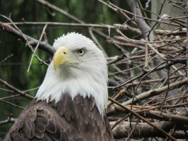 Another picture of the Columbus Zoo eagle by TSofian