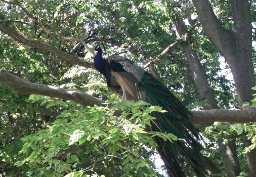 Peacock Perch by LovelyProstitute