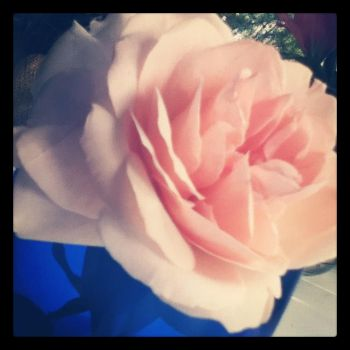 beautiful rose by yourneckmylips