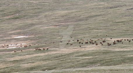 A Valley of Elk, Elk #1 by wolfleopard72