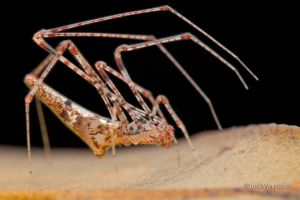 Theridiidae by melvynyeo