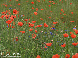 poppies II by happyline