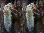 Cicada molt stereo pair by markdow