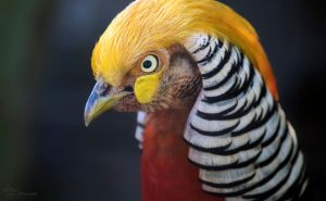 Golden Pheasant by PaulaDarwinkel