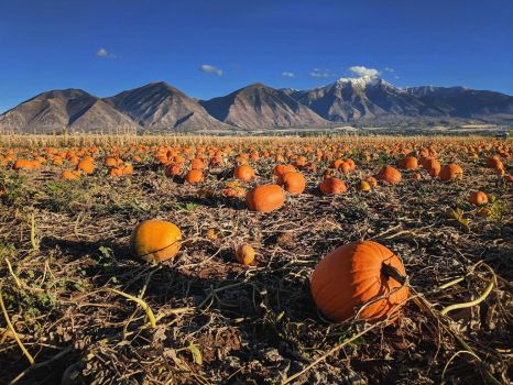 pumpkin patch 1 by yellowicous-stock