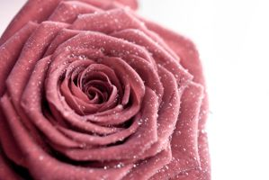 Rose by che-tina-plant