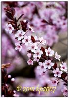 Spring blossoms - 7 by bp2007