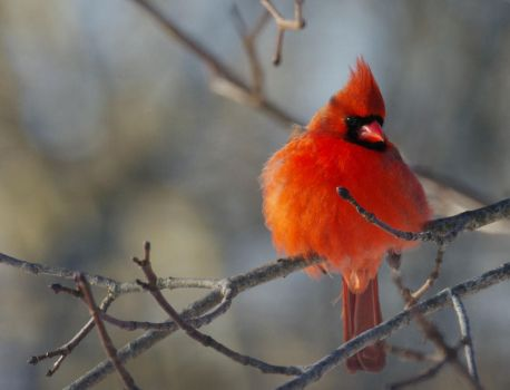 Cardinal Male by barcon53