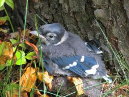 Little Visitor - Baby Bluejay by CitizenOlek