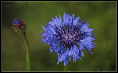 Sparkling cornflower by Mutabi