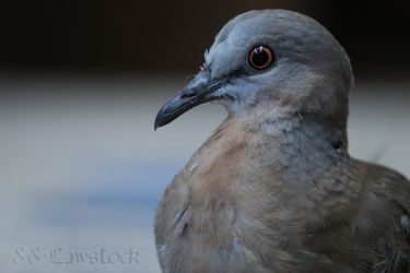 Spotted Turtle-Dove 01 by 88-Lawstock