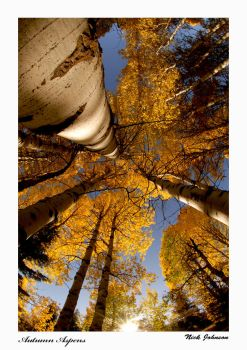 autumn aspens by collectiveone
