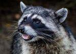 Raccoon 2 by nigel3