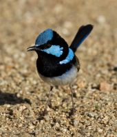 Superb Fairy Wren, male by SirTimid