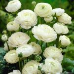 Blessing Ranunculus Buttercup Flowers By Vipop Dc6 by Yamio