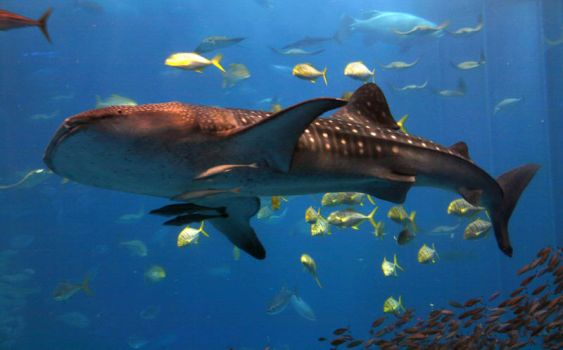 Whale Shark by soulmage