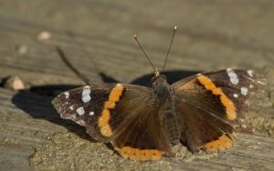 Red Admiral by SalsolaStock