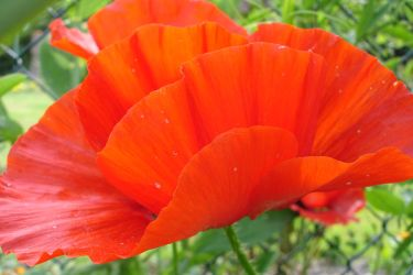 Poppy/Mohn by marthagose