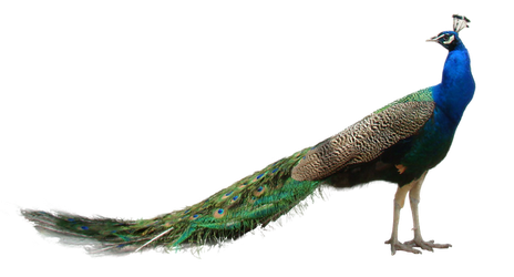 Peacock PNG by LG-Design