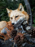 Red fox softmount commission by AdarkerNEMISIS