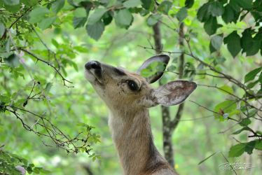 Doe Reaching by themanitou