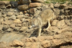 #Animales #Wolf by TitoCullen