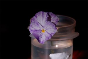 Pansy by vicissitude-stock