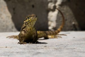 Northern curly-tailed lizard by CyclicalCore