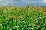maize hdr by Mittelfranke