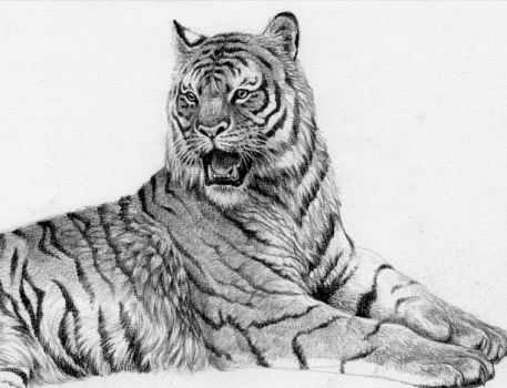 siberian tiger by willustration