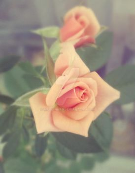Two roses by Marianna9