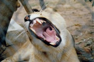 Lioness by godless4life