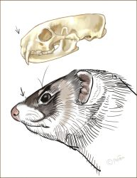 Ferret Skull And Head by Reptangle