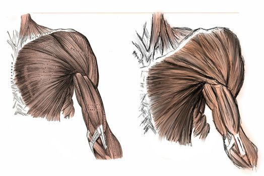 ANATOMY - Shoulder and Bicep Muscles by lberr93