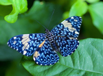 Turquoise Cracker Butterfly by Yamio