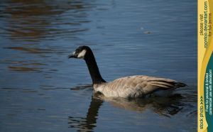 Canadian Goose 8 by RoonToo