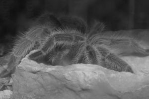 Tarantula Black and White by Clayofmyclay