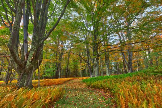Autumn Fern Trail - Canaan Valley by somadjinn