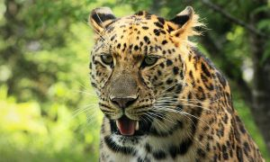 Nice little leopard by RinFlorin