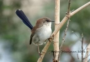 Female Superb Fairy-Wren by BreeSpawn