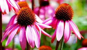 Two Cone Flowers by d-elner