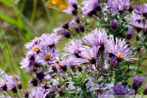 New England Aster I by charliemarlowe